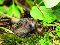 Malé ježky nesbírejte