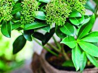 Přezimování hrnkových rostlin