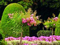 Letní řez růží
