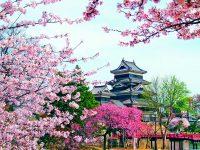 Sakura, dotyk Japonska