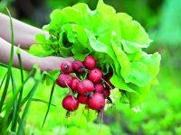 Začínáte s pěstováním zeleniny?