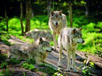 Vlci se vrátili