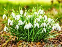 Jarní půvab sněženek
