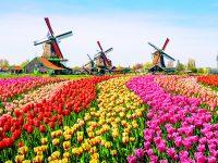 Svěží tulipány