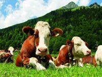Jak se vyrábí sýr Vezzena di Lavarone, lahůdka s dlouhou tradicí