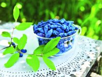 Zimolez kamčatský – první zdroj čerstvých vitaminů