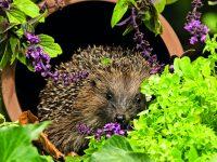 Ježek na zahradě – jak mu pomoci se zabydlet?