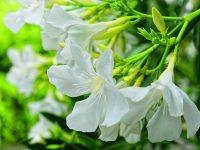 Oleandry zkrášlí terasu i zahradu