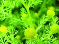 Heřmánek – bylinka, která nezklame