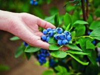 Vysaďte si zahradní borůvky