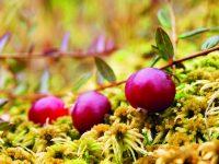 Vypěstujte si brusinky na zahradě