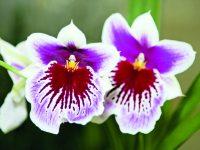 Nejznámější pokojové orchideje