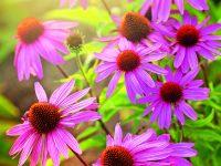 Echinacea  – Krásná i léčivá třapatka