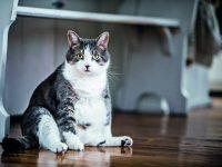 Macatá Micka? Pozor na obezitu koček!