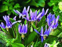 Kandíky – od rarity k ozdobě zahrady