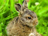 Malé zajíčky raději nezachraňujte