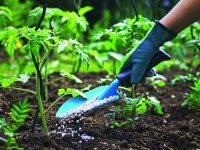 Jak správně pěstovat rajčata a papriky
