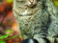 Vrací se kočka divoká do české přírody?