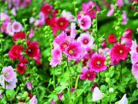 Výrazné květy slézů