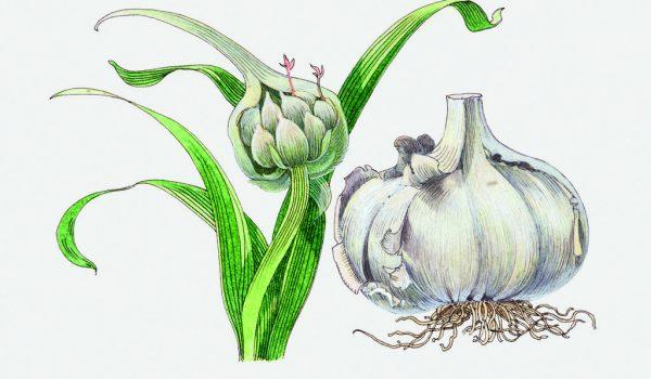 Česnek kuchyňský