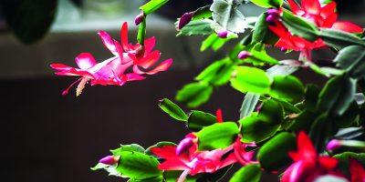 Rostliny, které kvetou v zimě