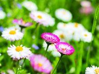 Léčivé květy a listy sedmikrásky