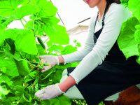 Pěstujeme zeleninu – vyštipujeme a vyvazujeme