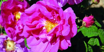 Léčivé růže
