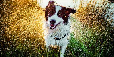 Pozor na letní otravy psů, nebezpečné je i koupání