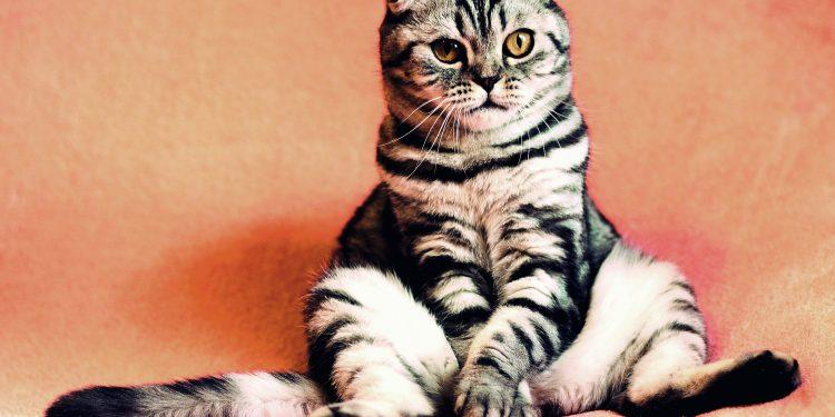 Jak si poradit s obezitou koček?