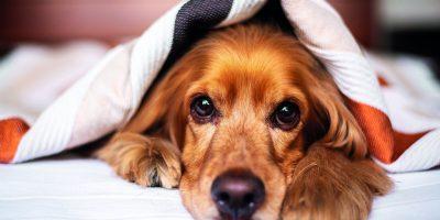 Chraňte psa i svůj domov proti blechám