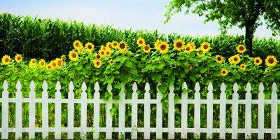 Méně známé slunečnice